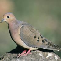 Mourning_dove_normal