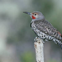 Northern_flicker_normal