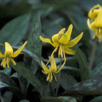 Trout_lily_normal