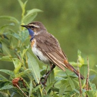 Bluethroat-bird-close-up_w725_h497_normal