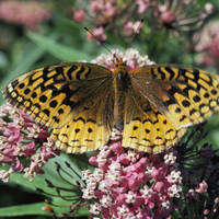 Great_spangled_fritillary_normal