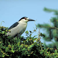 Black-crowned_night-heron_normal