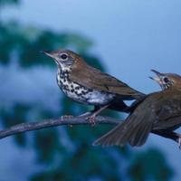 Pair-of-wood-thrushes-songbirds-are-pictured-perching-on-the-same-branch_w725_h514_normal