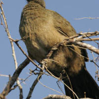 Plain_chachalaca_normal