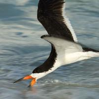 A-black-skimmer-skims-the-water-for-food-_w725_h485_normal