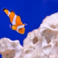Clownfish-11299071692zpb_normal
