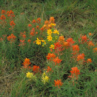 Prairie_paintbrush_normal