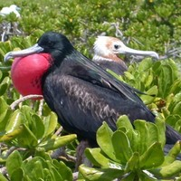 A-male-frigatebird-displays-among-vegetation_w725_h481_normal
