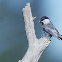 Mountain_chickadee_normal