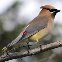 Bombycilla-cedrorum-bird-cedar-waxwing_w725_h493_normal