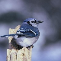 Blue-jay-bird_w725_h476_normal