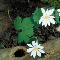 Bloodroot_normal