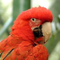 Red-parrot_w725_h544_normal