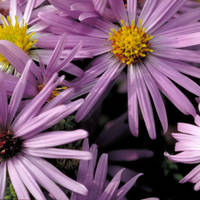 Aromatic_aster_normal