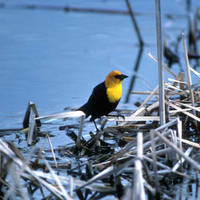 Yellow-headed_blackbird_normal