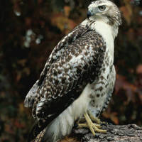 Red-tailed_hawk_normal