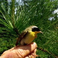 Yellowthroat-bird_w725_h481_normal