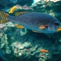 Banded-sweetlips-fish_normal