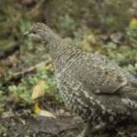 Close-up-of-female-spruce-grouse-bird-falcipennis-canadensis-standing_w128_h128_cw128_ch128_thumb_normal