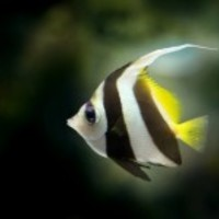 Angelfish_normal