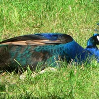 Blue-male-peacock_w725_h544_normal