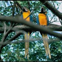 Macaws-birds-ara-macao_w725_h489_normal