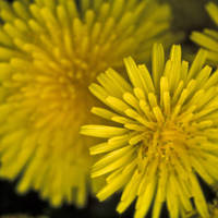 Dandelion_normal