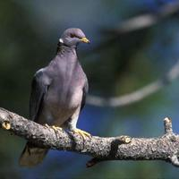Band-tailed-pigeon-bird-on-tree-branch-patagioenas-fasciata_w725_h480_normal
