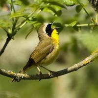 Geothlypis-trichas-bid-sings-yellowthroat_w580_h725_normal