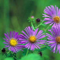 New_england_aster_normal