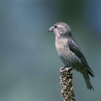 Red-crossbills-have-specialized-beaks-that-enable-them-to-open-pine-cone_w725_h543_normal