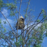 Porcupine-bird-in-tree_w471_h725_normal