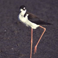 Black-necked-stilt-himantopus-mexicanus-bird_w507_h725_normal