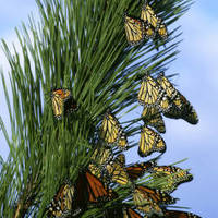 Monarch_butterfly_migration_normal