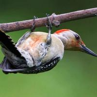 Red-bellied-woodpecker-bird-close-up_w725_h493_normal