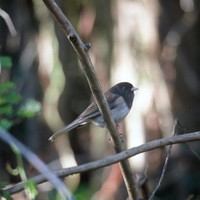 Dark-eyed-junco-bird-on-branch_w725_h483_normal