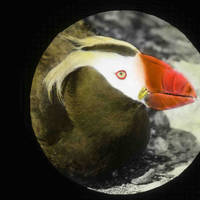 Tufted_puffin_normal