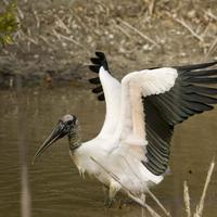 Male-wood-stork-spreads-its-wings-mycteria-americana_w725_h483_normal