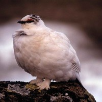 Rock-ptarmigan-bird-in-winter-plumage-lagopus-mutus_w725_h492_normal