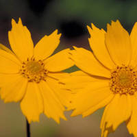 Eared_coreopsis_normal
