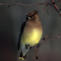 A-close-up-view-of-a-cedar-waxwing-bird_w725_h484_normal
