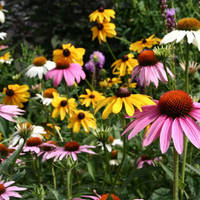 Coneflowers_normal