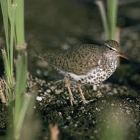 Spotted_sandpiper_normal