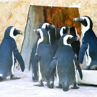 Penguins-in-zoo_w725_h484_normal