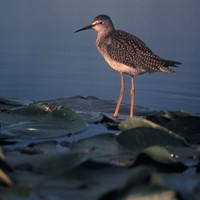 A-lesser-yellowlegs-is-found-resting-on-a-leaf-on-top-of-a-body-of-water-tringa-flavipes_w613_h725_normal