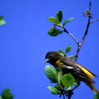 Northern_oriole_normal