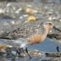 Red-knot-bird_w128_normal