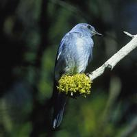 Mountain-bluebird-bird-sialia-currucoides-perched-on-a-branch_w725_h476_normal