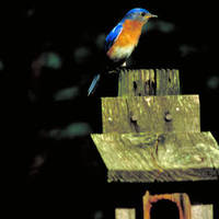 Eastern_bluebird_normal