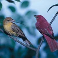 A-pair-of-summer-tanagers-birds-perch-closely-next-to-each-other-piranga-rubra_w725_h474_normal